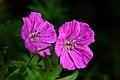 Twinn-4-oclock-flowers-macro - Virginia - ForestWander.jpg