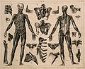 Two écorché figures, with details of miscellaneous bones and Wellcome V0008467.jpg