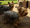 Two Yorkshire Terriers by a pile of bricks (1 August 2007).jpg