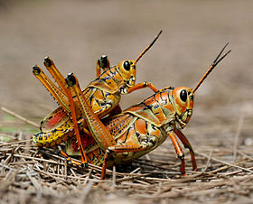 Two eastern Lubber grasshopers (Romalea microptera), mating.jpg