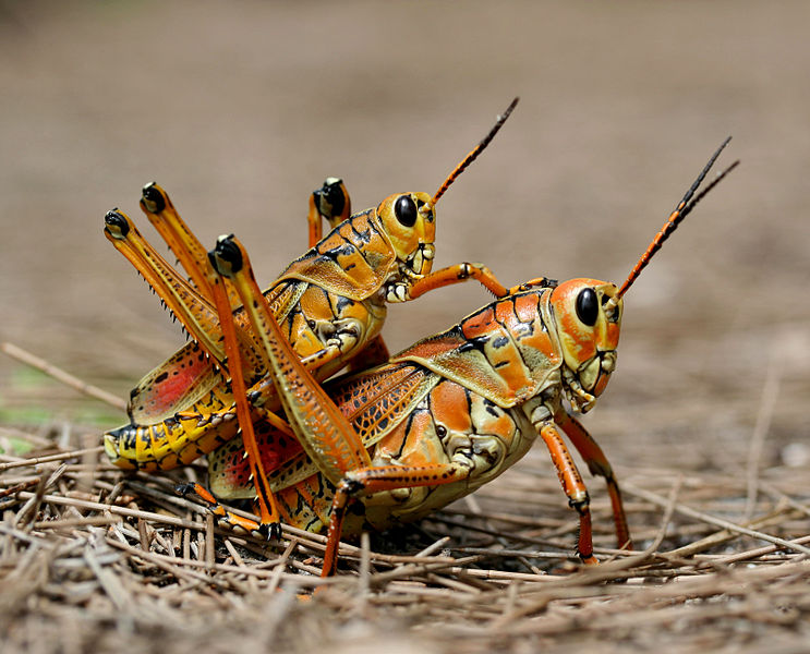 File:Two eastern Lubber grasshopers (Romalea microptera), mating.jpg