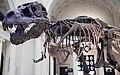Tyrannosaurus rex (theropod dinosaur) (Hell Creek Formation, Upper Cretaceous; near Faith, South Dakota, USA) 29.jpg