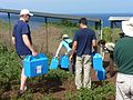USFWS Hawaiian petrel chicks arriving at their new home. Photo credit- Lori Rodriguez-USFWS (22131228763).jpg