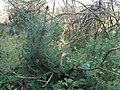Ulex europaeus — Gorse regrowing after fire by Peter Eastern.jpg