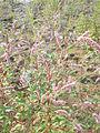 Una pianta di persicaria.jpg
