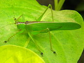 Unidentified Tettigoniidae (probably Hexacentrus).jpg