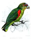 A green parrot with blue-tipped wings, a black face, and white eye-spots