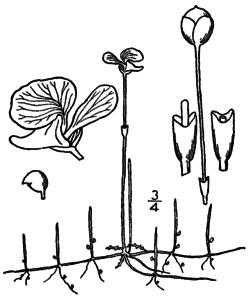 Utricularia resupinata BB-1913.png