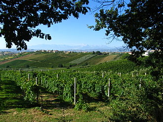 Italian wine - A typical Italian vineyard scene, with vines growing together with olive trees.
