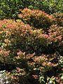 Vaccinium consanguineum hojas nuevas.JPG
