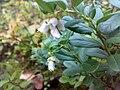 Vaccinium vitis-idaea 02.jpg