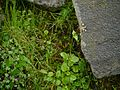 Valeriana himalayana (7851307498).jpg