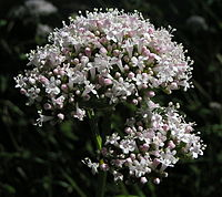 Valeriana officinalis02.JPG