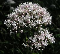 Valeriana officinalis02