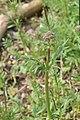 Valeriana officinalis in Jardin Botanique de l'Aubrac.jpg