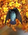 Van Hasselt's Sunbird (Leptocoma brasiliana) m flying - Flickr - Lip Kee (2).jpg