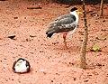Vanellus miles Dvur zoo 3.jpg