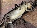 Velarifictorus micado paralyzed ventral.jpg