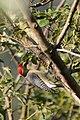 Velasquez's Woodpecker, Melanerpes santacruzi (11916169814).jpg