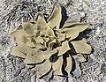 Verbascum sp - Sığırkuyruğu, Kartaldağı 01.jpg