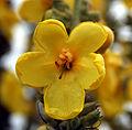 Verbascum thapsiforme 315.jpg