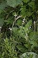 Verbena officinalis val-de-grace-amiens 80 11092007 1.jpg