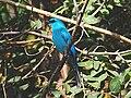 Verditer flycatcher adult 3 10x7.jpg
