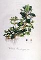 Veronica beccabunga — Flora Batava — Volume v6.jpg