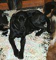Very dark Azores Cattle Dog.JPG