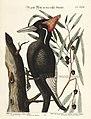 Verzameling van uitlandsche en zeldzaame vogelen (Tab. XXXII) (7894170222).jpg