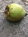 Vespula vulgaris 2448*3264.jpg