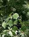 Viburnum acerifolium (28332825210).jpg