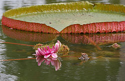 Victoria amazonica (Gaint Amazon Water Lily) in Hyderabad, AP W IMG 2611.jpg