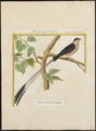 Vidua regia - 1700-1880 - Print - Iconographia Zoologica - Special Collections University of Amsterdam - UBA01 IZ15900093.tif