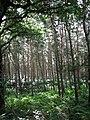 View south into Barningham Green Plantation - geograph.org.uk - 543469.jpg