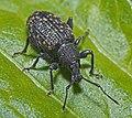 Vine Weevil, Otiorhynchus sulcatus (20891086502).jpg