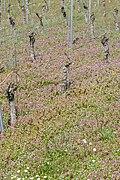 Vineyard - Weingarten 05.jpg