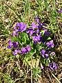 Viola hirta (Violaceae) (34281901211).jpg