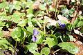 Viola odorata 00735.JPG