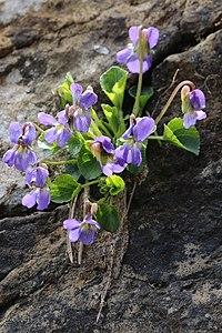 Viola pyrenaica3.jpg