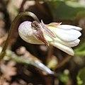Viola vaginata f. albiflora (flower).jpg
