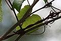 VitisrotundifoliaandBarbedWireinBexarCountyTexas.jpg