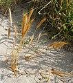 Vulpia fasciculata plant (01).jpg