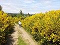 Wanderung bei Ginsterblüte Dreiborner Hochfläche 2015.jpg