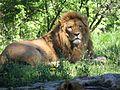 Warszawskie Zoo ul.Ratuszowa - Król Zwierząt - panoramio.jpg