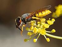 Wasp August 2007-12.jpg