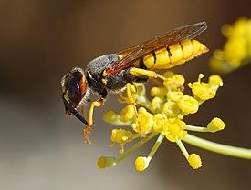 275px-Wasp_August_2007-12.jpg