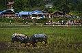 Water Buffalo Fight, Toraja, South Sulawesi.jpg