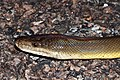 Water Python (Liasis mackloti) (8692394648).jpg