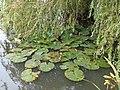 Water lilies in Bebington.jpg